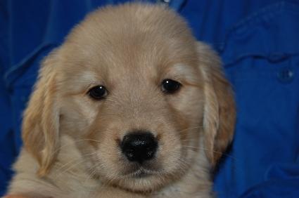 ゴールデンレトリバーの子犬メス3頭目の写真正面から