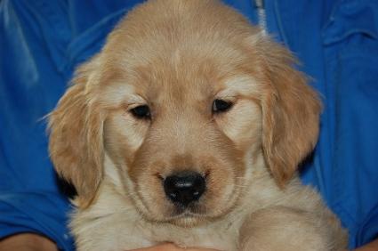 ゴールデンレトリバーの子犬メス4頭目の写真正面から
