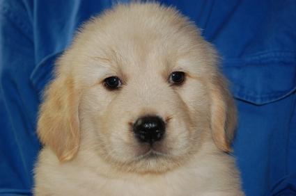 ゴールデンレトリバーの子犬オ4頭目の写真正面から