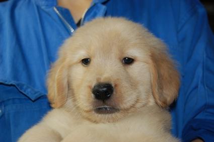 ゴールデンレトリバーの子犬オス1頭目の写真正面から