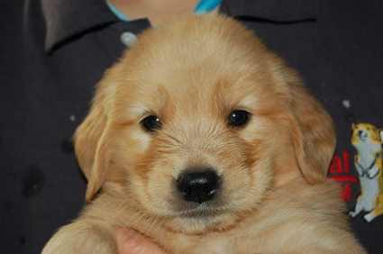 2009年7月31日産まれのゴールデンレトリバー子犬の写真