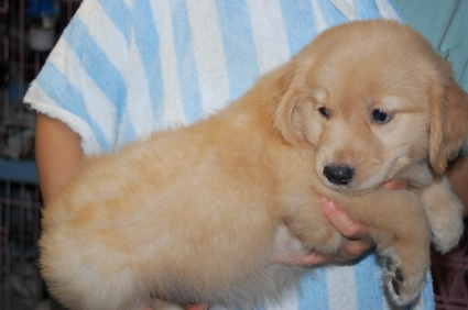ゴールデンレトリバーの子犬メス2頭目の写真側面から