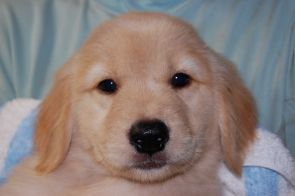 ゴールデンレトリバーの子犬メス1頭目の写真正面から