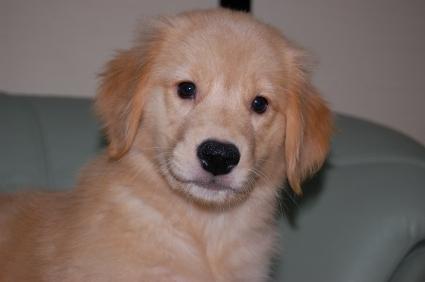 ゴールデンレトリバーの子犬の写真200907312