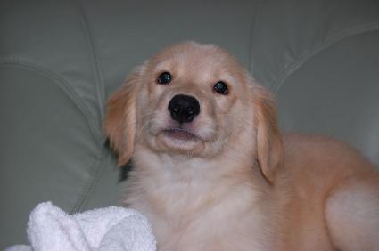 ゴールデンレトリバーの子犬の写真200907311