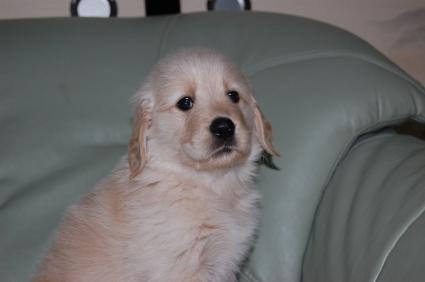 2009年9月15日生まれのゴールデンレトリバー子犬の写真