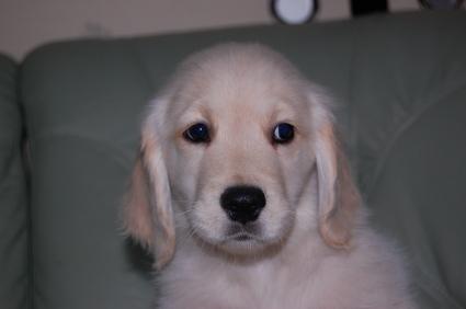 ゴールデンレトリバーの子犬の写真200909101
