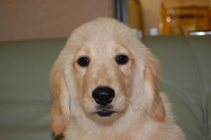 ゴールデンレトリバーの子犬の写真200909152
