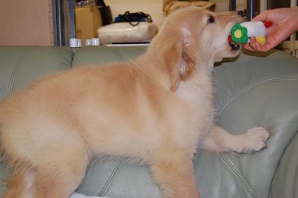 ゴールデンレトリバーの子犬の写真200909151-2