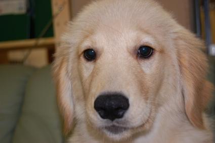ゴールデンレトリバーの子犬の写真200909151