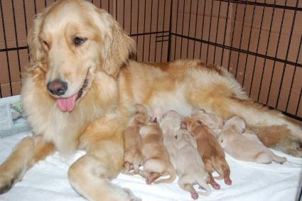 2010年5月4日生まれのゴールデンレトリバー子犬の写真
