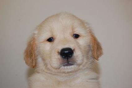 ゴールデンレトリバーの子犬の写真201005046