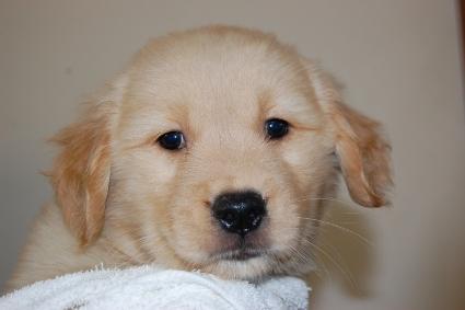 ゴールデンレトリバーの子犬の写真201005047