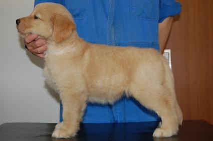 ゴールデンレトリバーの子犬の写真201005047-2