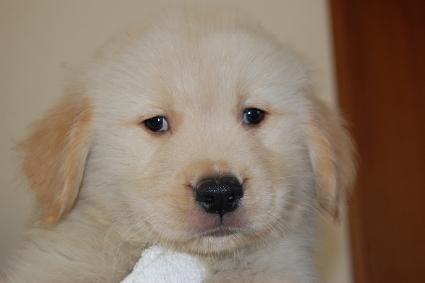 ゴールデンレトリバーの子犬の写真201005043