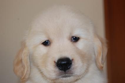 ゴールデンレトリバーの子犬の写真201005045