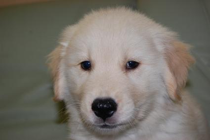 ゴールデンレトリバーの子犬の写真201005042