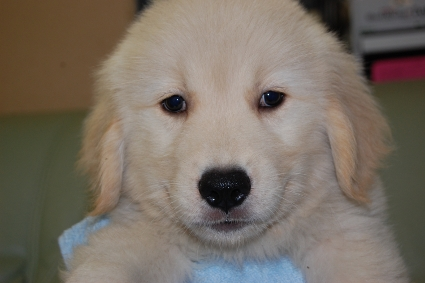 ゴールデンレトリバーの子犬の写真201005041