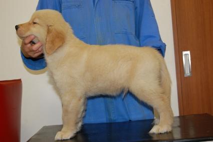 ゴールデンレトリバーの子犬の写真201005044-2