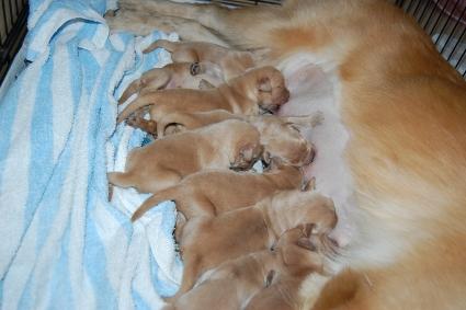2010年8月19日生まれのゴールデンレトリバー子犬の写真