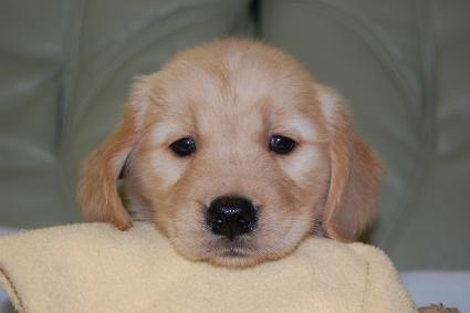ゴールデンレトリバーの子犬の写真201008194