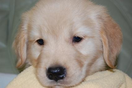 ゴールデンレトリバーの子犬の写真201008191