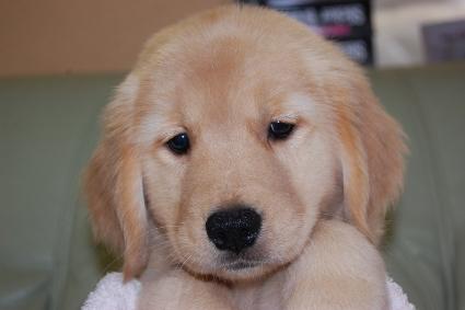 ゴールデンレトリバーの子犬の写真201008198
