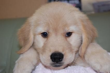 ゴールデンレトリバーの子犬の写真201008199