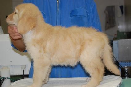ゴールデンレトリバーの子犬の写真201008199-2