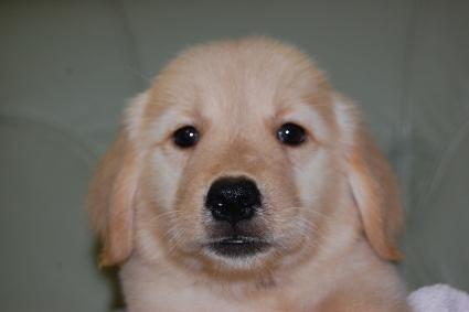 ゴールデンレトリバーの子犬の写真201008193