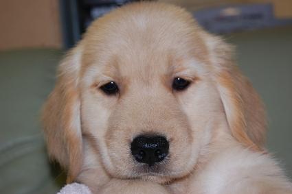 ゴールデンレトリバーの子犬の写真201008195
