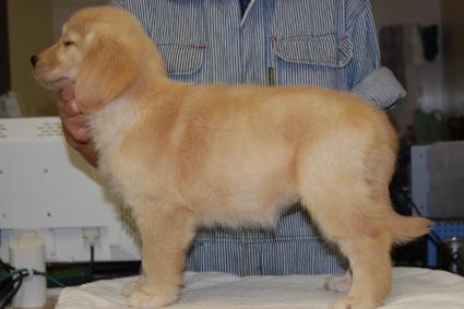 ゴールデンレトリバーの子犬の写真201008195-2