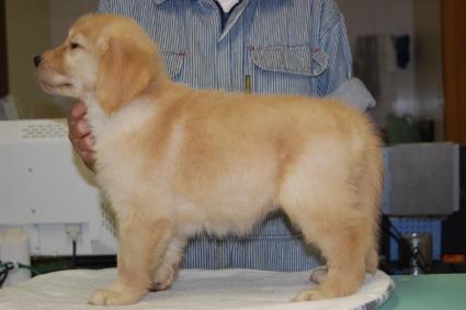 ゴールデンレトリバーの子犬の写真201008196-2