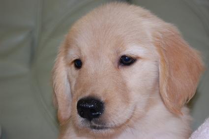 ゴールデンレトリバーの子犬の写真201008197