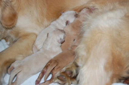 2011年1月23日生まれのゴールデンレトリバー子犬の写真