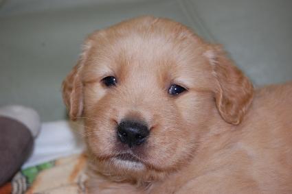 ゴールデンレトリバーの子犬の写真201101231