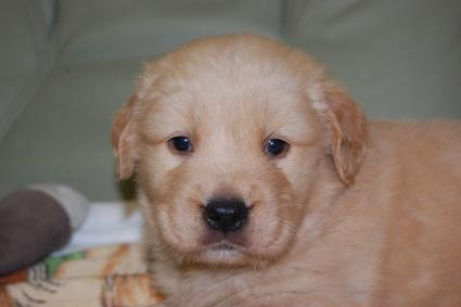 ゴールデンレトリバーの子犬の写真201101233