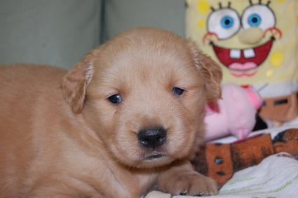 ゴールデンレトリバーの子犬の写真201101234