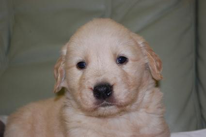 ゴールデンレトリバーの子犬の写真201101235