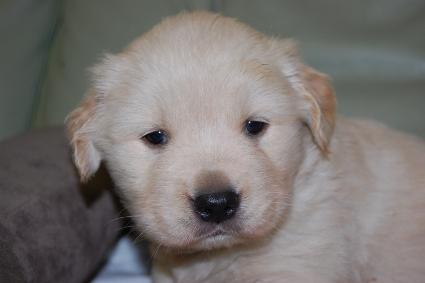 ゴールデンレトリバーの子犬の写真201101232