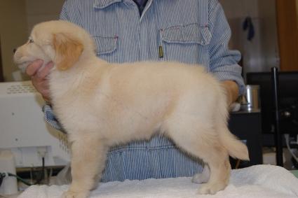 ゴールデンレトリバーの子犬の写真201101236-2