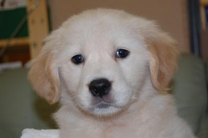 ゴールデンレトリバーの子犬の写真201101236