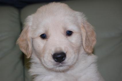 ゴールデンレトリバーの子犬の写真201108222