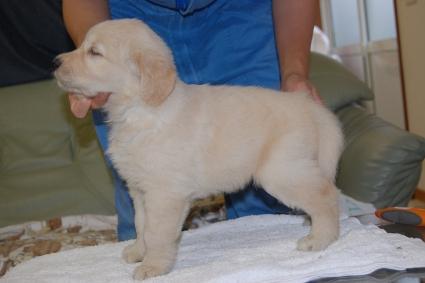 ゴールデンレトリバーの子犬の写真201108222-2
