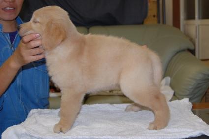 ゴールデンレトリバーの子犬の写真201108221-2