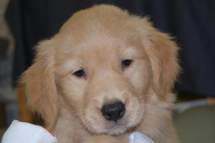 ゴールデンレトリバーの子犬の写真201108223