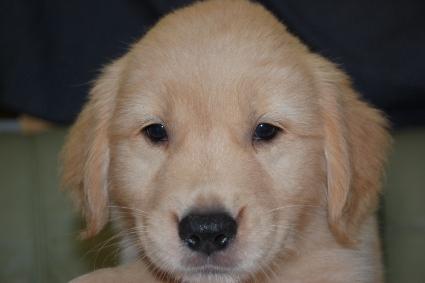 ゴールデンレトリバーの子犬の写真201108224