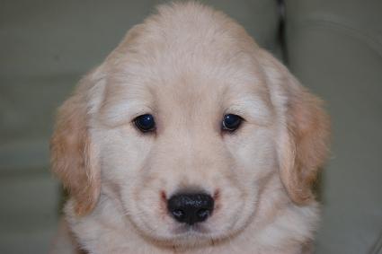 ゴールデンレトリバーの子犬の写真201108225