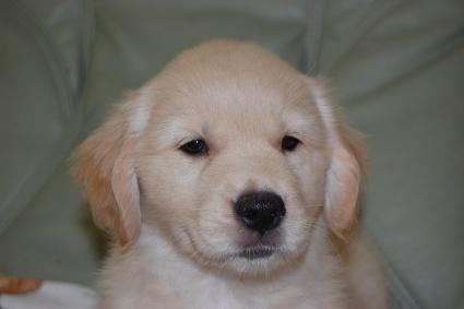 ゴールデンレトリバーの子犬の写真201108226