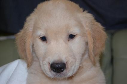 ゴールデンレトリバーの子犬の写真201108221